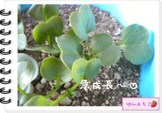 ちこちゃんの観察日記2012★12★謎の野菜5-6