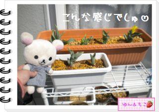 ちこちゃんの観察日記2012★13★チューリップの観察7-2