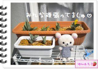 ちこちゃんの観察日記2012★13★チューリップの観察7-5