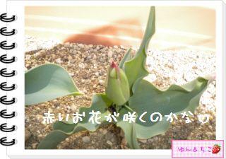 ちこちゃんの観察日記2012★14★チューリップの観察8-2