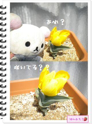 ちこちゃんの観察日記2012★14★チューリップの観察8-3