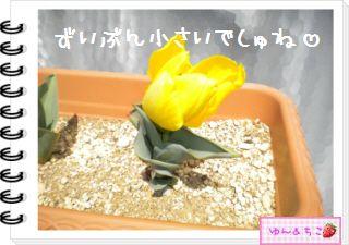 ちこちゃんの観察日記2012★14★チューリップの観察8-5