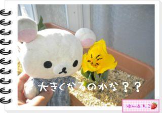 ちこちゃんの観察日記2012★14★チューリップの観察8-6