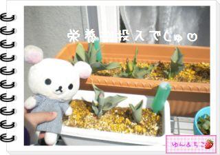 ちこちゃんの観察日記2012★15★チューリップの観察9-2