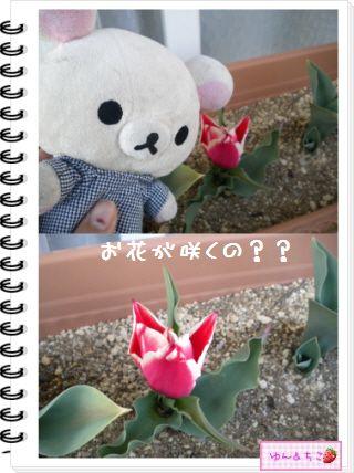 ちこちゃんの観察日記2012★15★チューリップの観察9-3