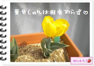 ちこちゃんの観察日記2012★16★チューリップの観察10-4