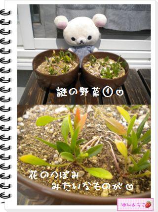 ちこちゃんの観察日記2012★17★謎の野菜6-2
