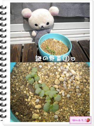 ちこちゃんの観察日記2012★17★謎の野菜6-4