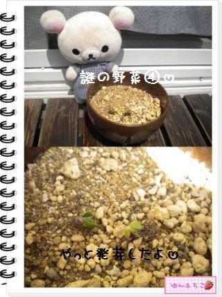 ちこちゃんの観察日記2012★17★謎の野菜6-5