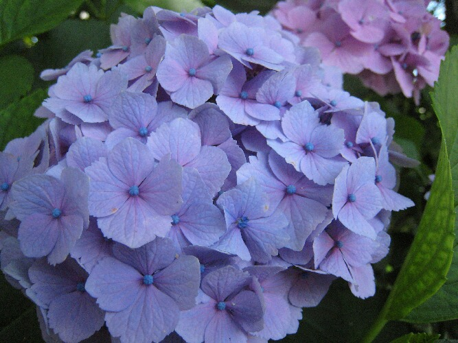 IMG_0464紫陽花