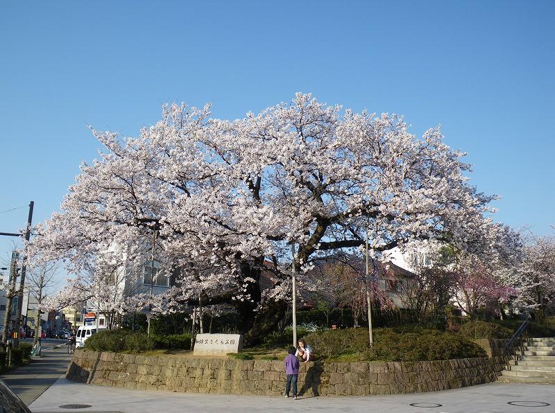 Sakuranoki.jpg