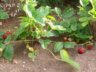 ワイルドストロベリー堆肥