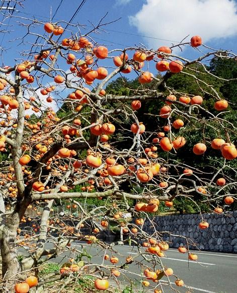 柿の木2012
