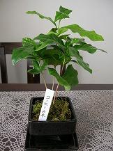 2013.11コーヒーの木