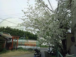 hazakura