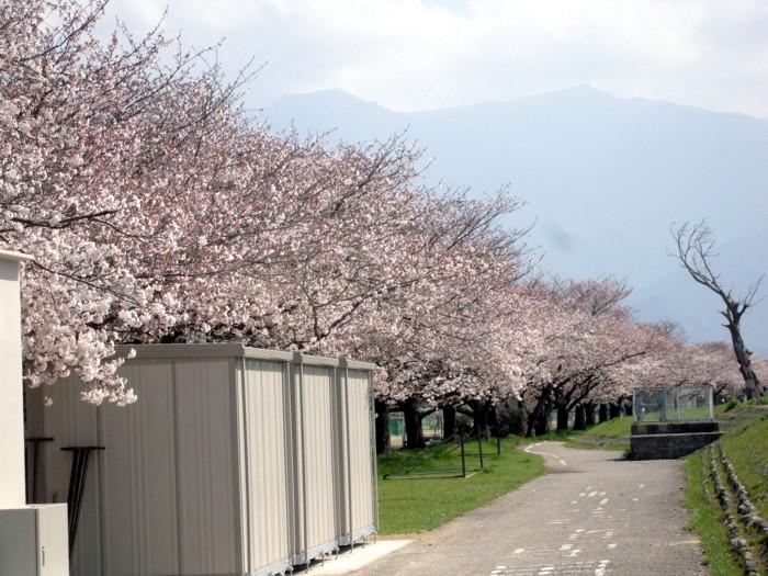 河川敷の桜並木
