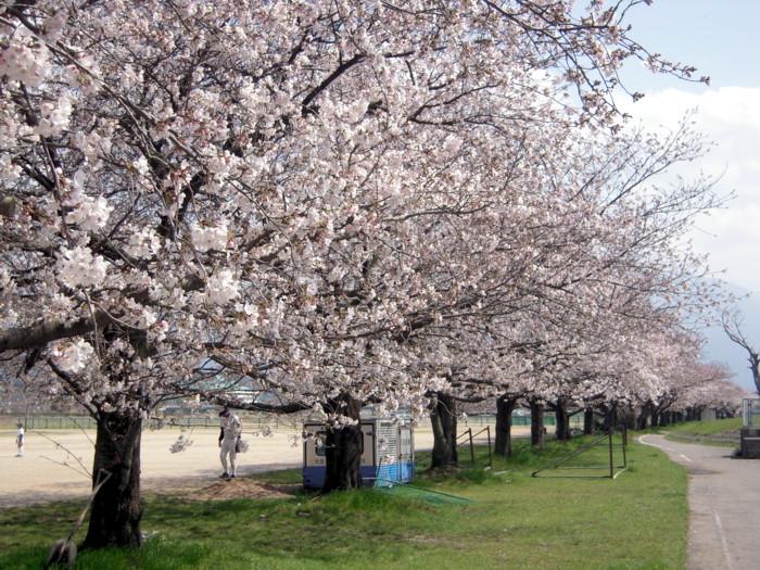 国領川河川敷の桜並木