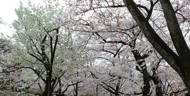 hazakura2013
