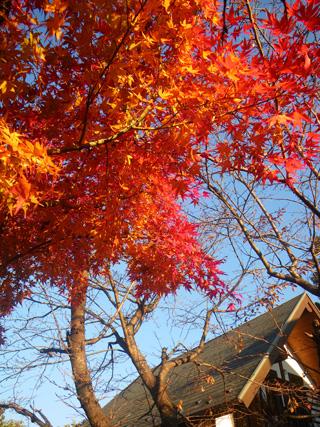 庭の紅葉ピーク