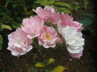 薔薇園にいってきました。