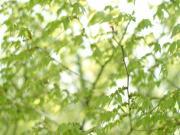 花舞小枝の春