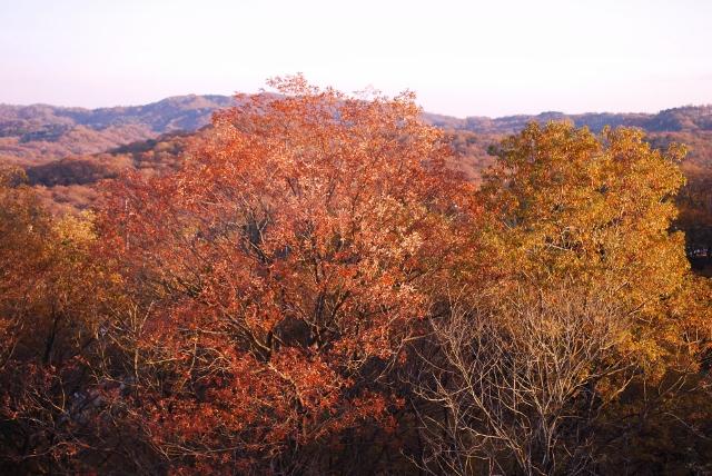 初冬の黄葉