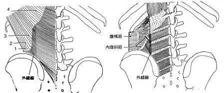 胸腰筋膜と腹横筋の付着