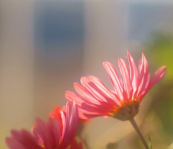 131123赤い菊