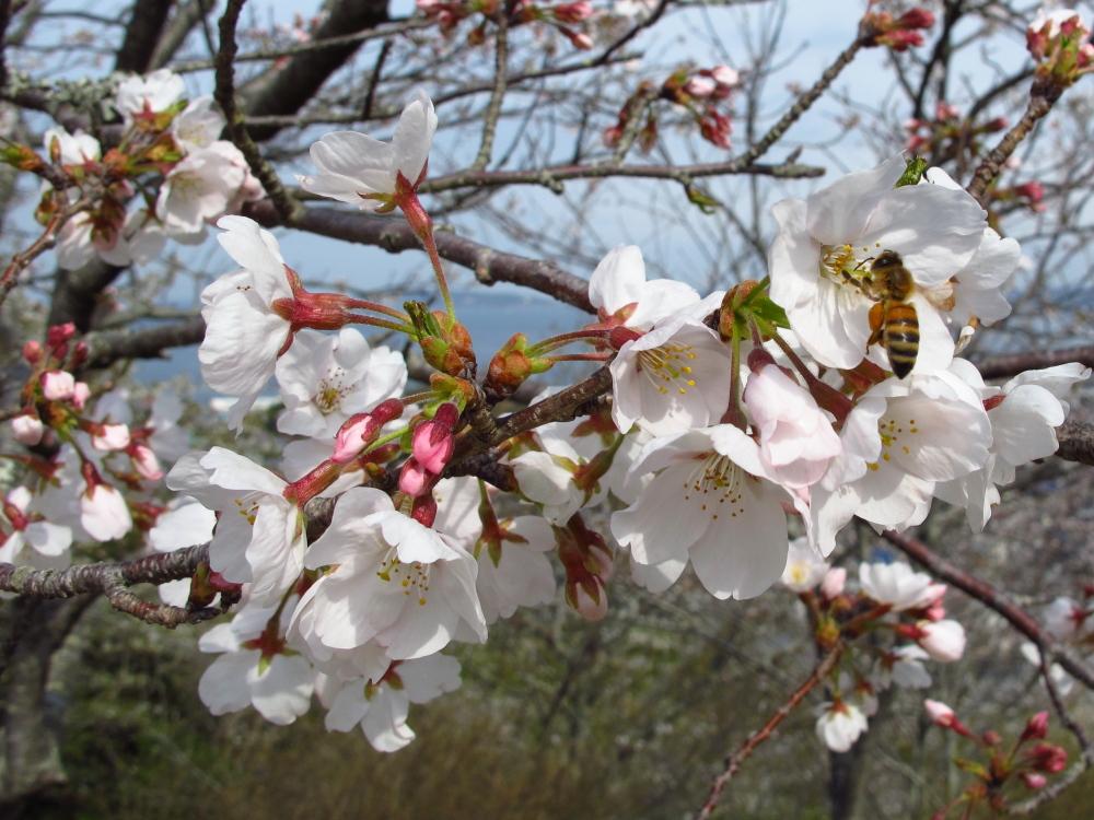 20120324_sakura2.jpg