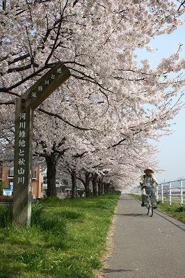 漕ぐ脚弛む桜道
