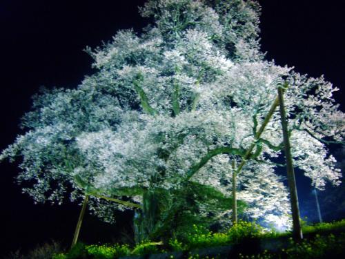 ひょうたん桜ライトアップ