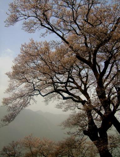 ひょうたん桜20日朝