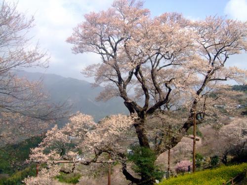 ひょうたん桜20日昼