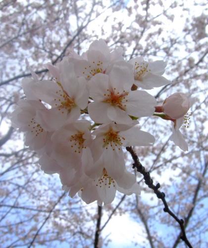 綾上しだれ桜04