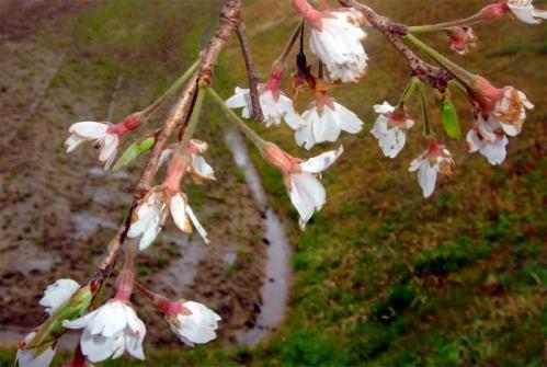 綾上しだれ桜