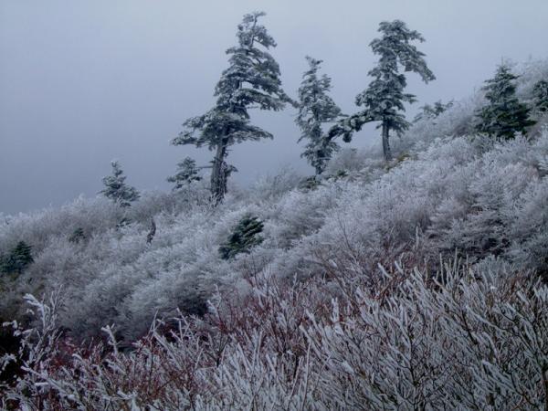 シラビソ霧氷
