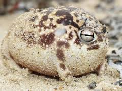 衝撃的にかわいいカエル「ナマカフクラガエル」