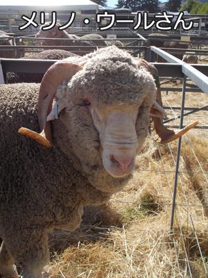 羊の国のラブラドール絵日記シニア!!「稼ぎそこない」写真3