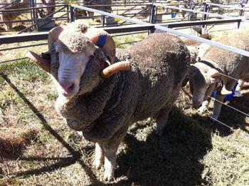 羊の国のラブラドール絵日記シニア!!「ワナカな週末」写真日記3