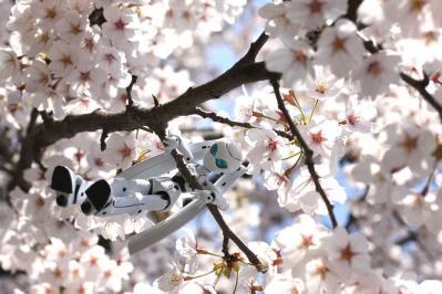 ドロッセル 桜