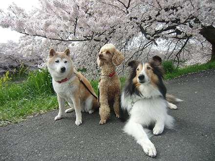 2011年の桜満開