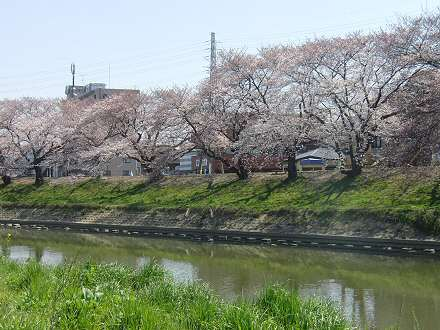今年も咲いた2011年の桜