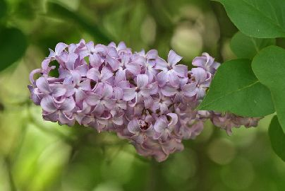 Lilac_Flower26Leaves2C_SC2C_Vic2C_13_10_2007.jpg
