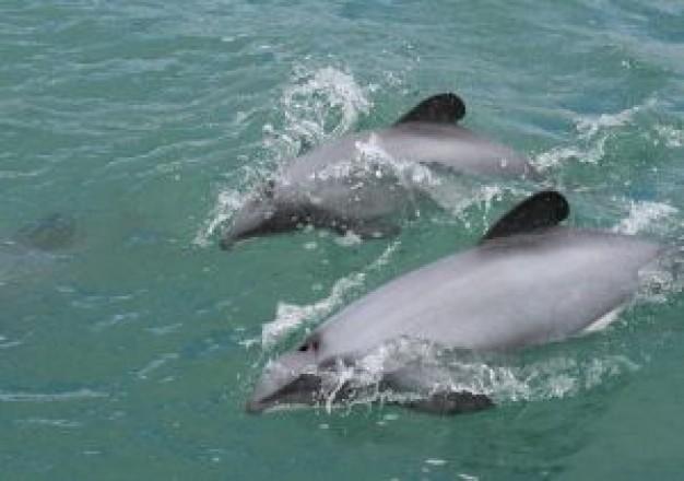 【京都】 天橋立近くの宮津湾にイルカ約20頭迷い込む