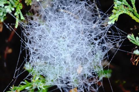 なんでクモって生まれながらにしてクモの巣の作り方知ってるの?