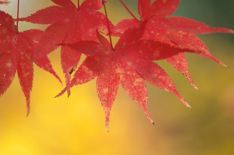 華やぐ秋に ~小国神社の紅葉 9~