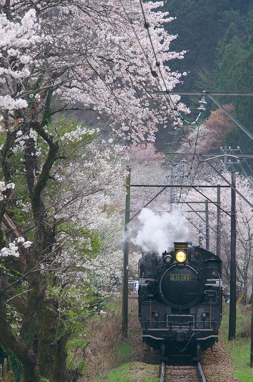 桜咲く中をゆく