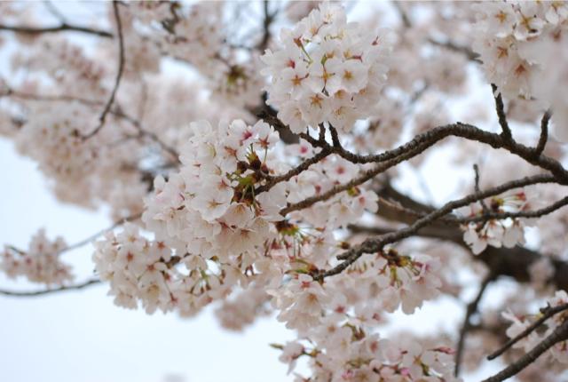 桜(変換後)