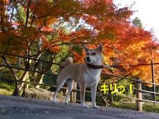 9秋と柴犬3