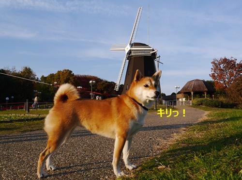 11風車とs柴犬